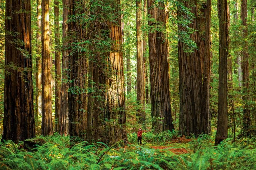 497408077. Giant Forest. P.N. Sequoia & Kings Canyon (EE UU)