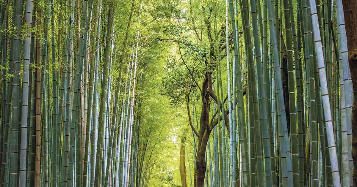 Japón Bajo El Embrujo Del Bosque De Bambú