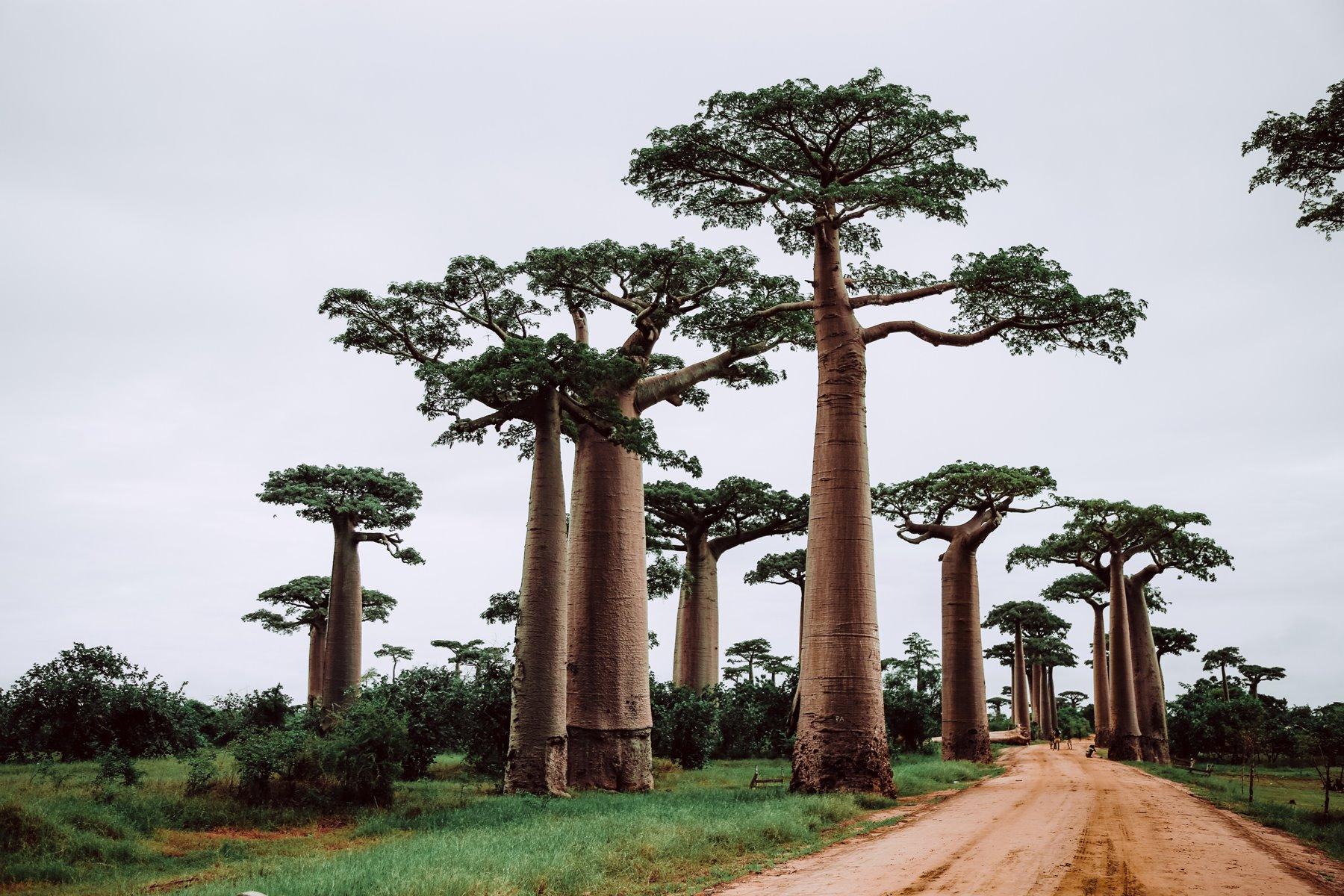Para un estío entre baobabs en Madagascar...