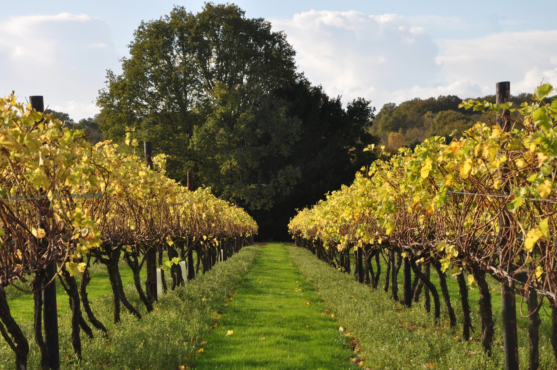 Autumn-at-Biddenden-Vineyard. Vinos, sidras, zumo de manzana y Ortega en Biddenden Vineyards