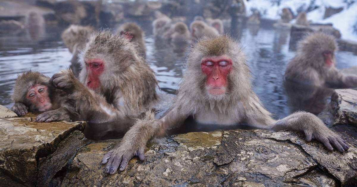 Macaco-de-las-nieves-japon_8676e667_1200x630