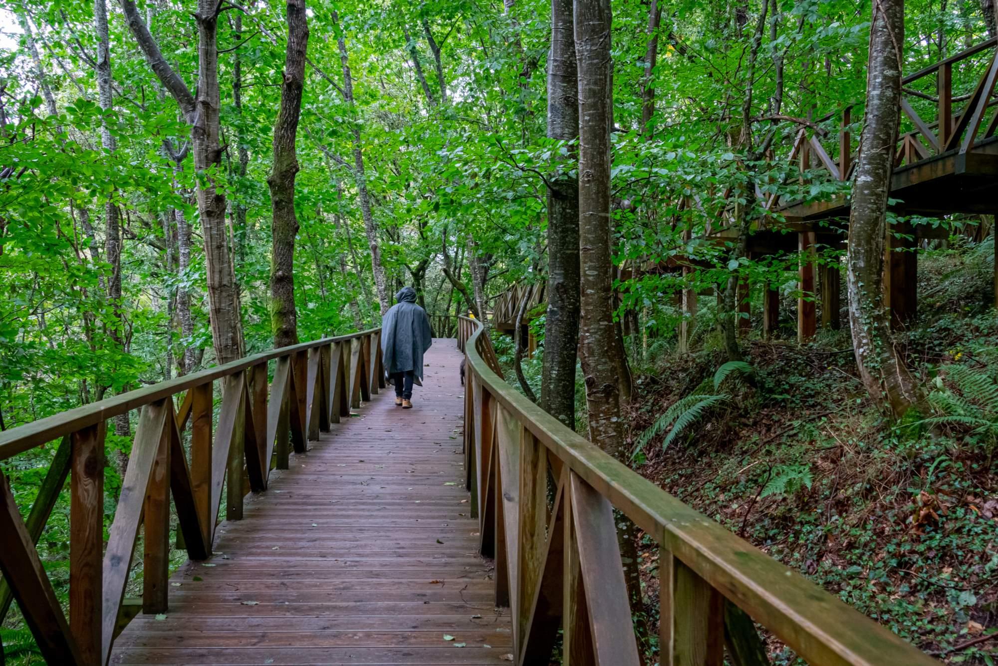shutterstock 1840788772. El bosque de secuoyas gigantesco